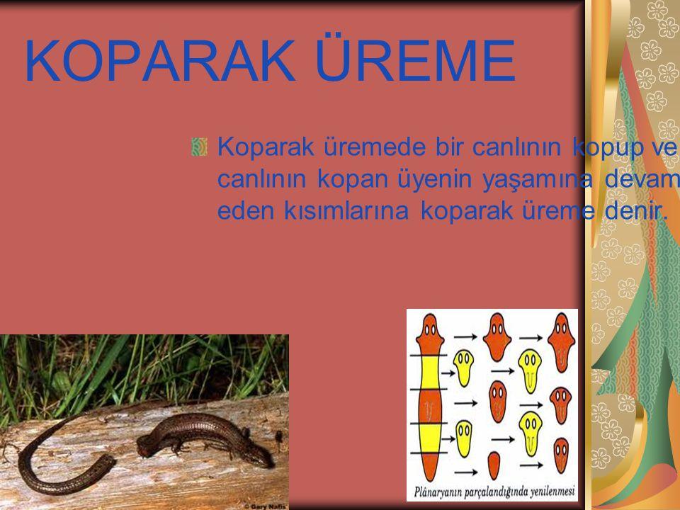 KOPARAK ÜREME Koparak üremede bir canlının kopup ve o canlının kopan üyenin yaşamına devam eden kısımlarına koparak üreme denir.