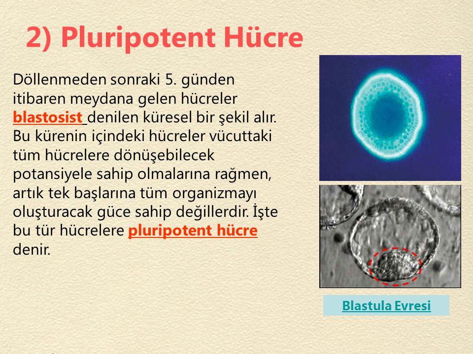 2) Pluripotent Hücre
