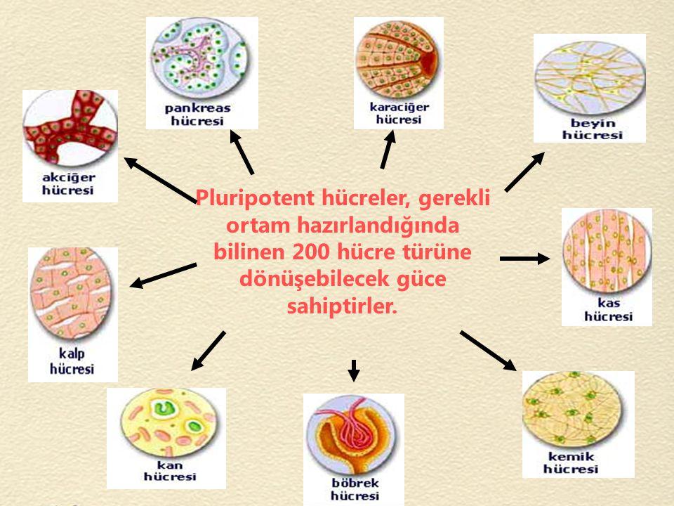 Pluripotent hücreler, gerekli ortam hazırlandığında bilinen 200 hücre türüne dönüşebilecek güce sahiptirler.