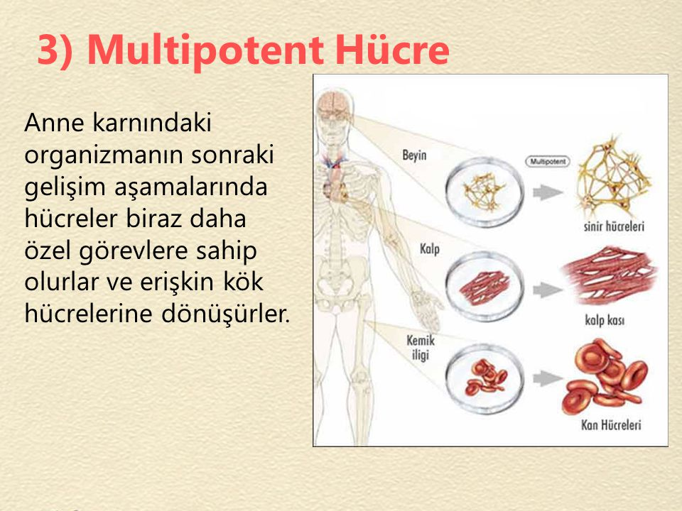 3) Multipotent Hücre