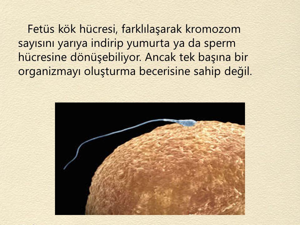 Fetüs kök hücresi, farklılaşarak kromozom sayısını yarıya indirip yumurta ya da sperm hücresine dönüşebiliyor.