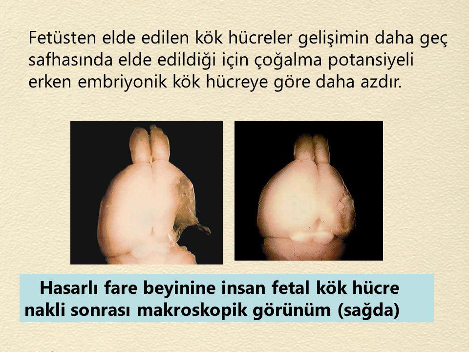 Fetüsten elde edilen kök hücreler gelişimin daha geç safhasında elde edildiği için çoğalma potansiyeli erken embriyonik kök hücreye göre daha azdır.