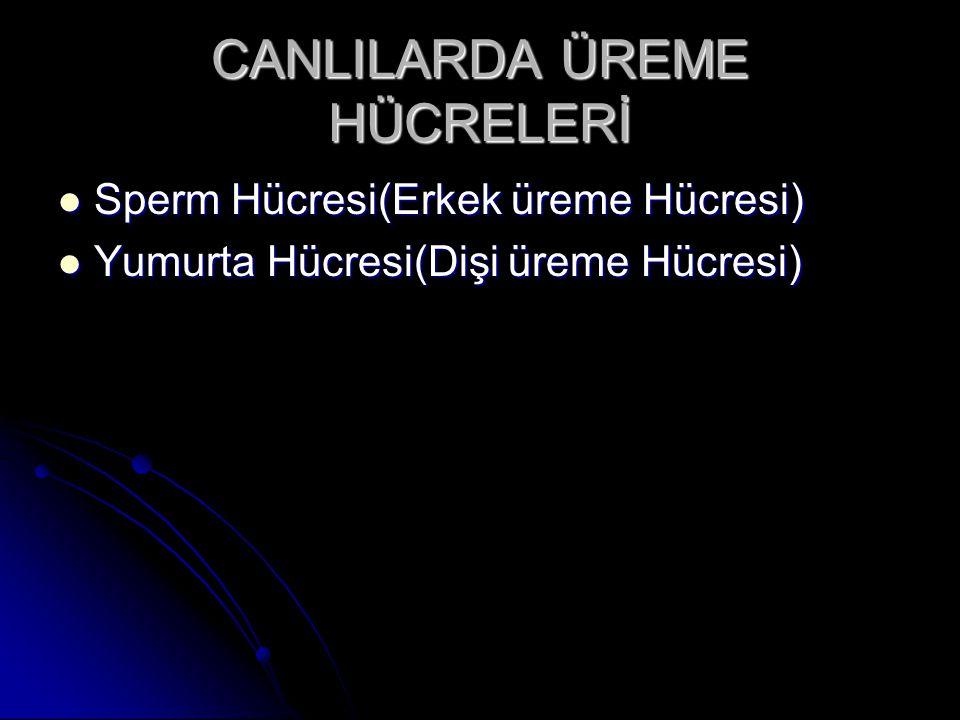 CANLILARDA ÜREME HÜCRELERİ