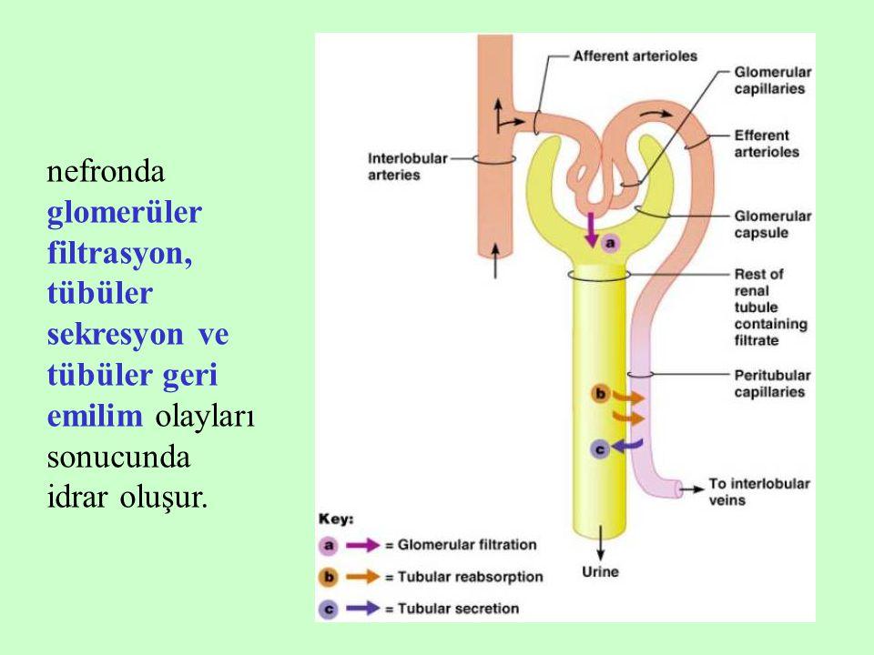 nefronda glomerüler filtrasyon, tübüler sekresyon ve tübüler geri emilim olayları sonucunda idrar oluşur.