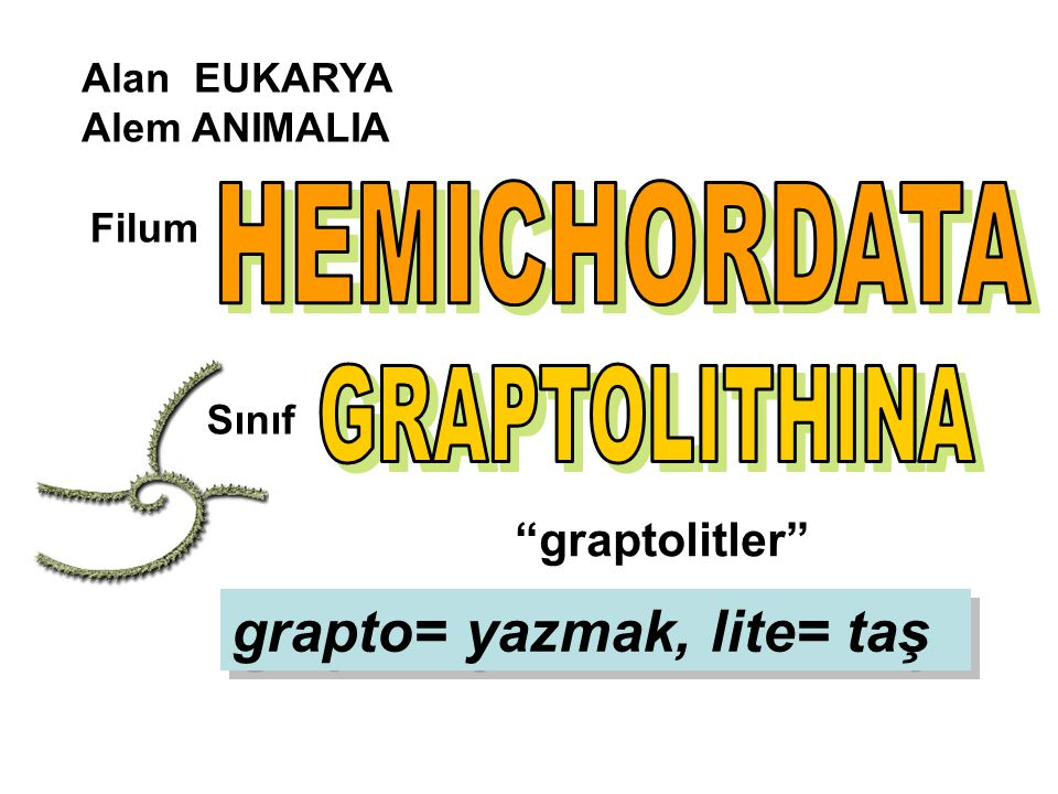 HEMICHORDATA GRAPTOLITHINA grapto= yazmak, lite= taş graptolitler