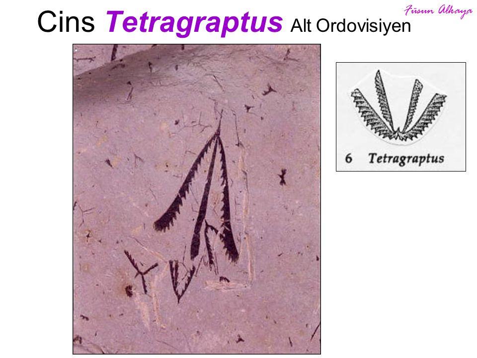 Cins Tetragraptus Alt Ordovisiyen