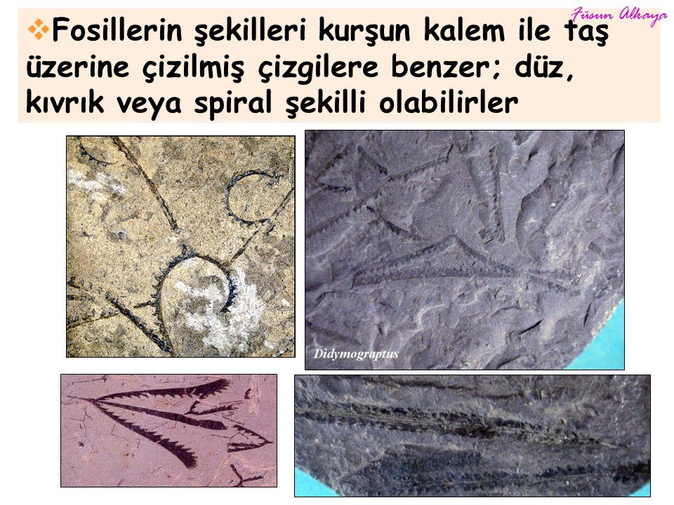 Füsun Alkaya Fosillerin şekilleri kurşun kalem ile taş üzerine çizilmiş çizgilere benzer; düz, kıvrık veya spiral şekilli olabilirler.