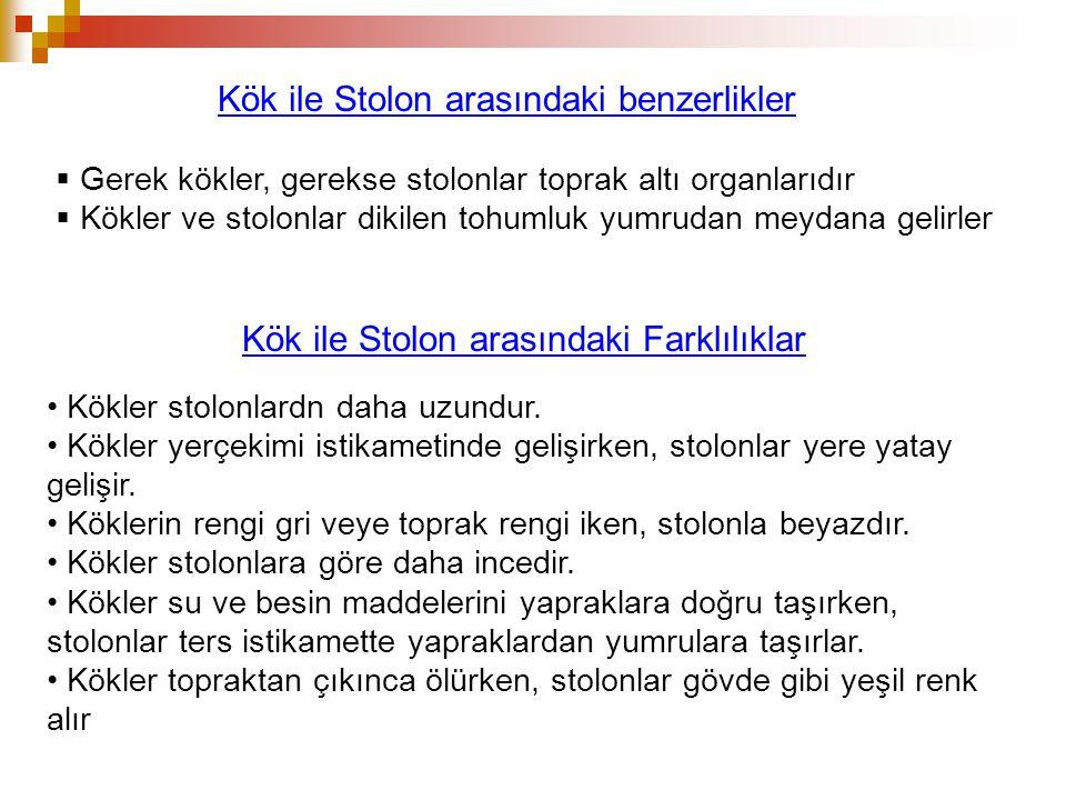 Kök ile Stolon arasındaki benzerlikler