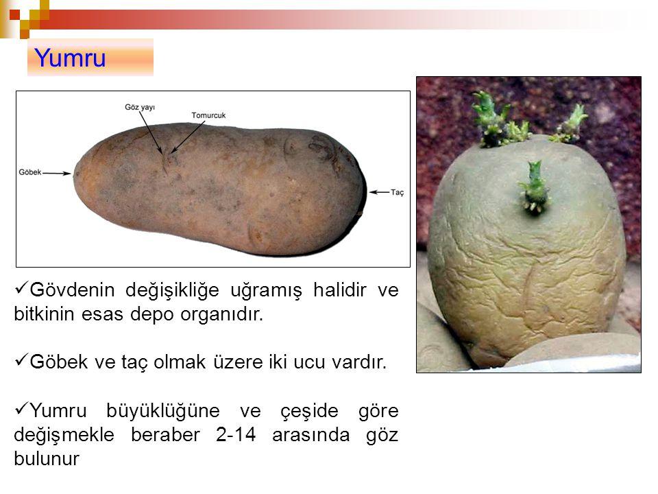 Yumru Gövdenin değişikliğe uğramış halidir ve bitkinin esas depo organıdır. Göbek ve taç olmak üzere iki ucu vardır.