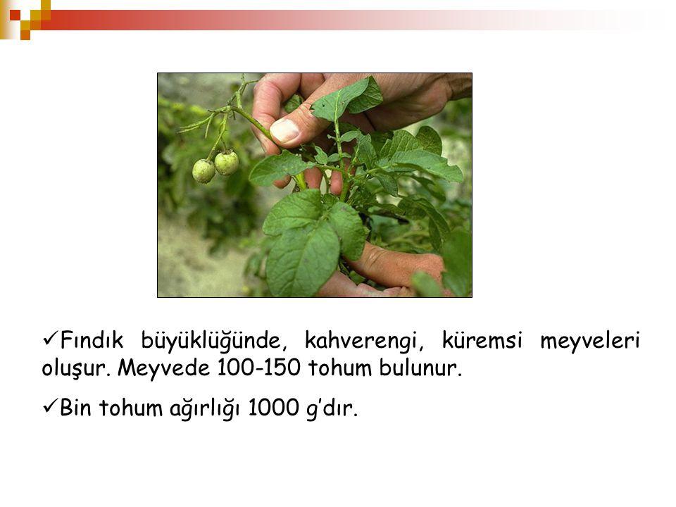 Fındık büyüklüğünde, kahverengi, küremsi meyveleri oluşur