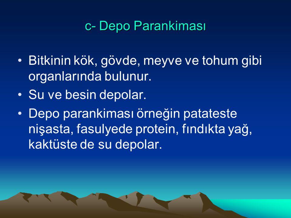 c- Depo Parankiması Bitkinin kök, gövde, meyve ve tohum gibi organlarında bulunur. Su ve besin depolar.