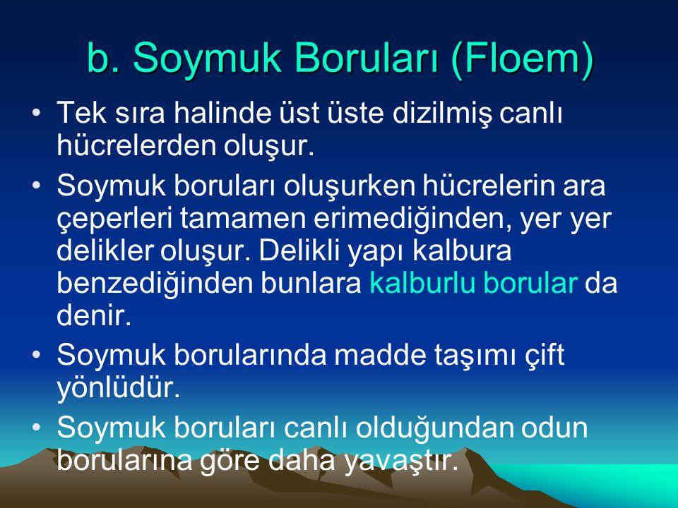 b. Soymuk Boruları (Floem)