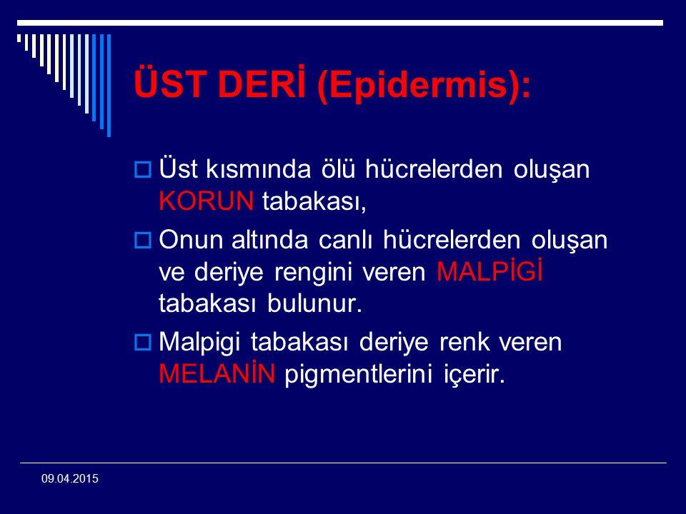 ÜST DERİ (Epidermis): Üst kısmında ölü hücrelerden oluşan KORUN tabakası,