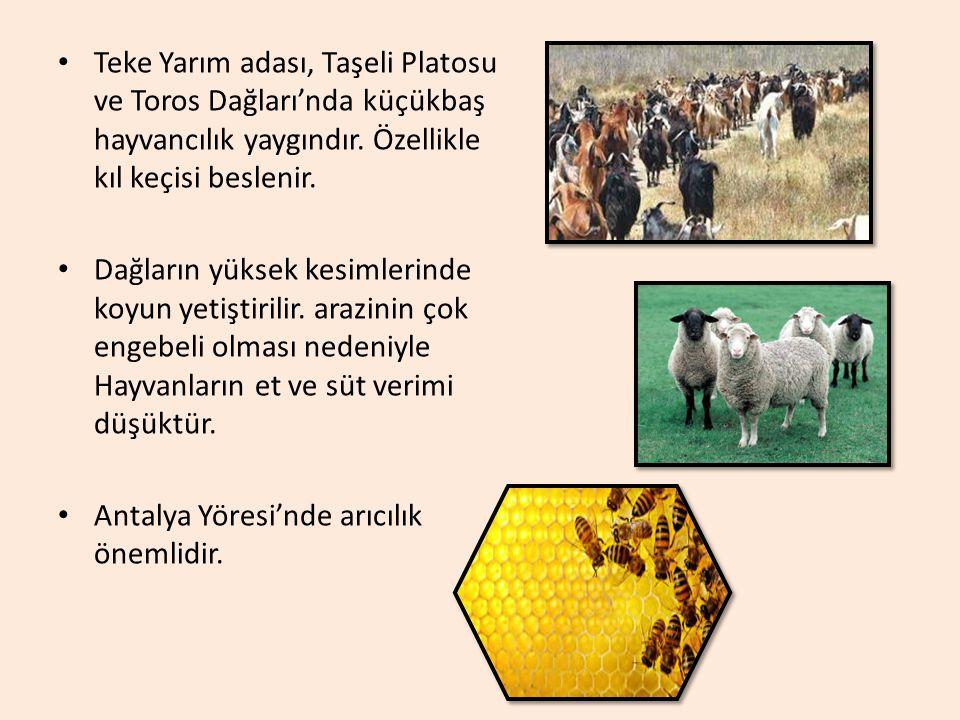 Teke Yarım adası, Taşeli Platosu ve Toros Dağları'nda küçükbaş hayvancılık yaygındır. Özellikle kıl keçisi beslenir.
