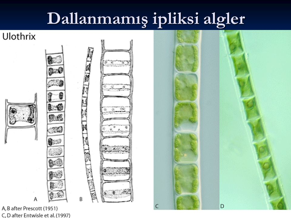 Dallanmamış ipliksi algler