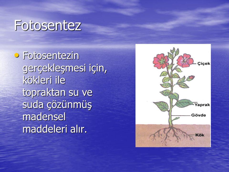 Fotosentez Fotosentezin gerçekleşmesi için, kökleri ile topraktan su ve suda çözünmüş madensel maddeleri alır.