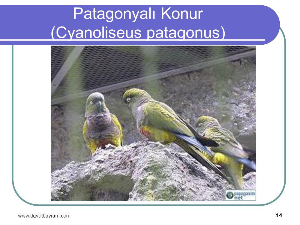 Patagonyalı Konur (Cyanoliseus patagonus)
