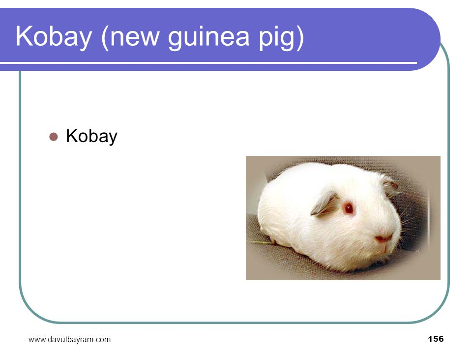 Kobay (new guinea pig) Kobay www.davutbayram.com