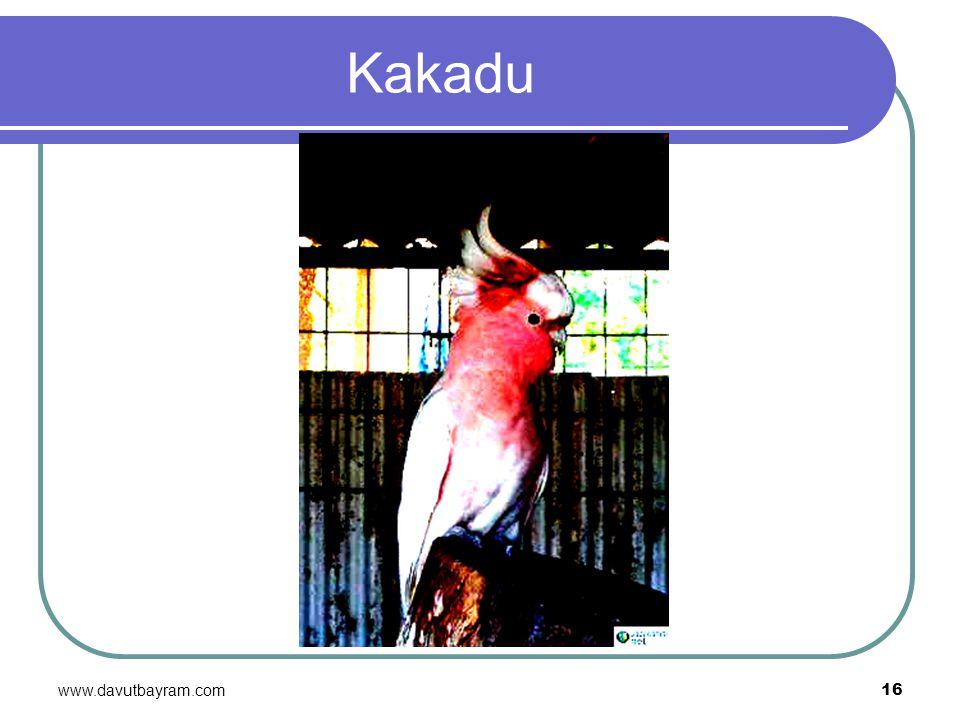 Kakadu www.davutbayram.com