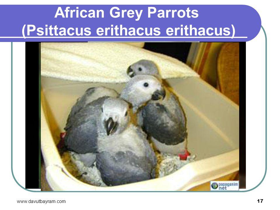 African Grey Parrots (Psittacus erithacus erithacus)