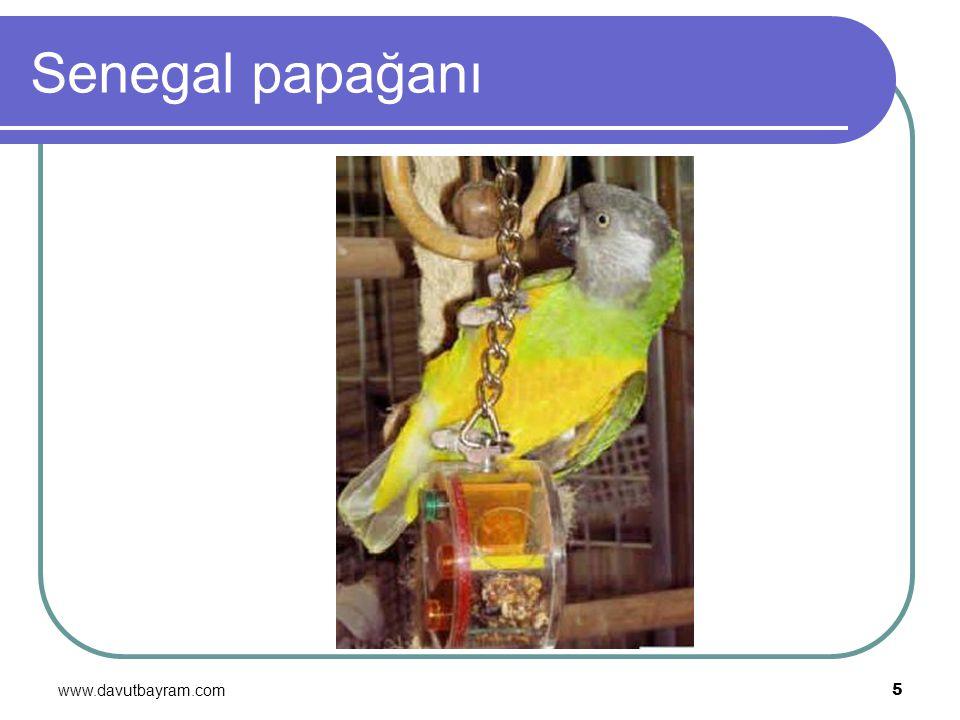 Senegal papağanı www.davutbayram.com