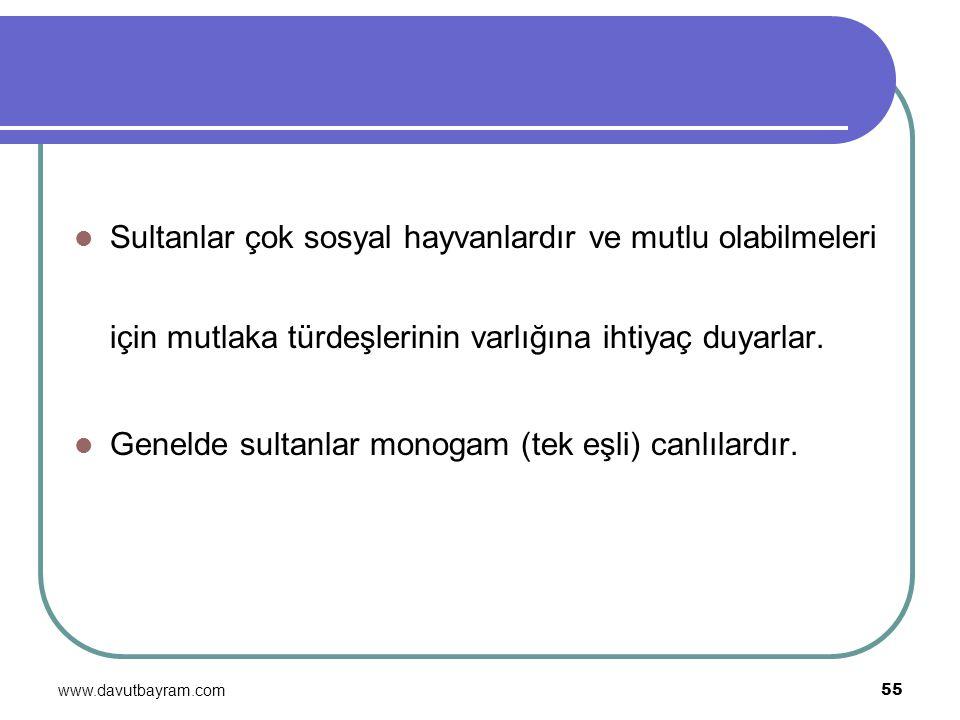 Genelde sultanlar monogam (tek eşli) canlılardır.
