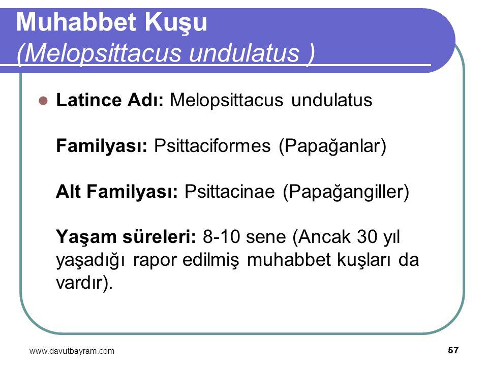 Muhabbet Kuşu (Melopsittacus undulatus )