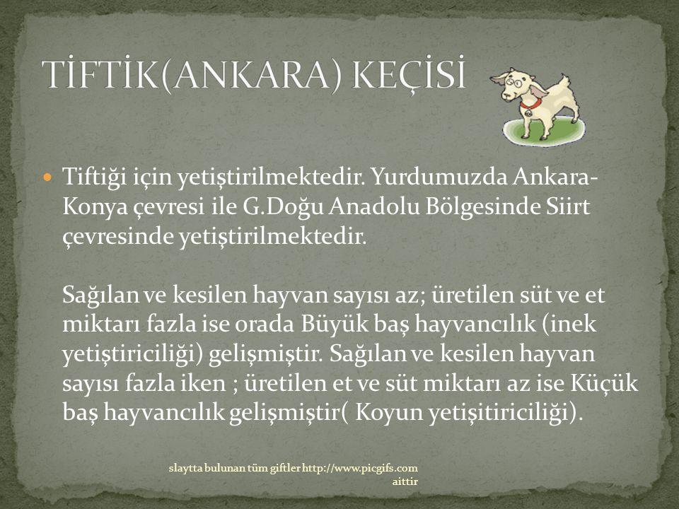 TİFTİK(ANKARA) KEÇİSİ