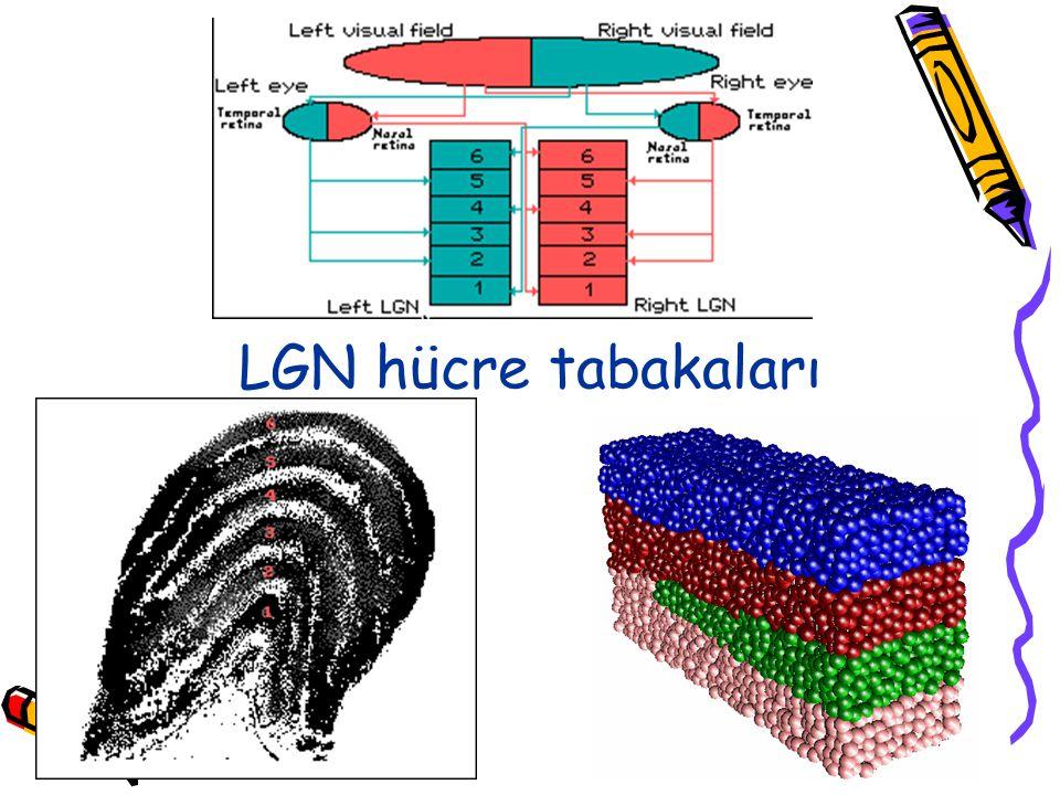 LGN hücre tabakaları