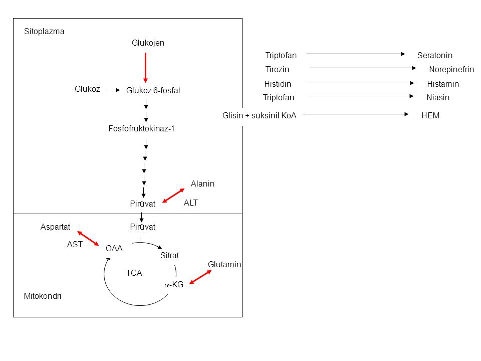 AST ALT. Glutamin. Glukoz 6-fosfat. Pirüvat. Fosfofruktokinaz-1. Glukoz. TCA. Sitrat. Glukojen.