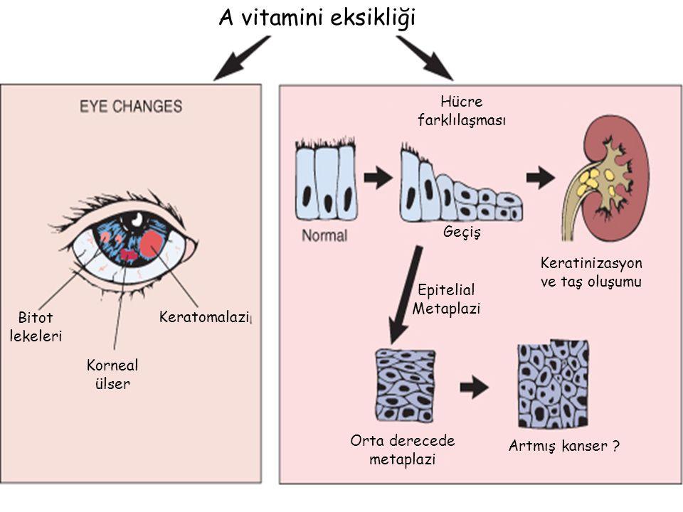 A vitamini eksikliği Hücre farklılaşması Geçiş