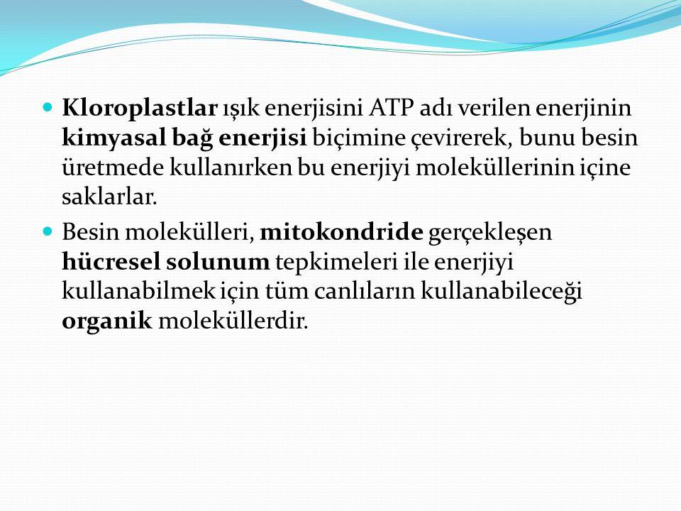 Kloroplastlar ışık enerjisini ATP adı verilen enerjinin kimyasal bağ enerjisi biçimine çevirerek, bunu besin üretmede kullanırken bu enerjiyi moleküllerinin içine saklarlar.