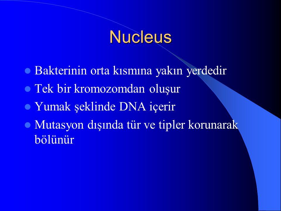 Nucleus Bakterinin orta kısmına yakın yerdedir