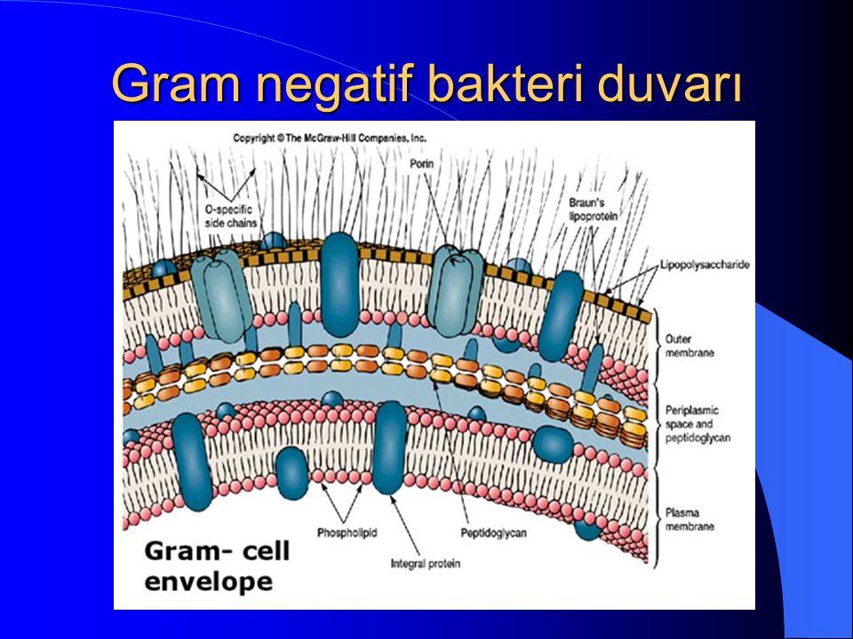 Gram negatif bakteri duvarı