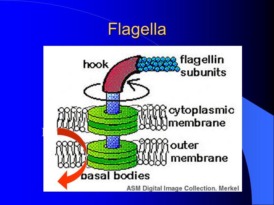 Flagella H+