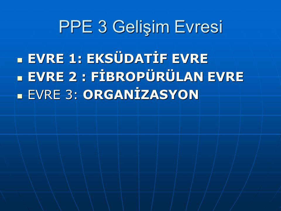 PPE 3 Gelişim Evresi EVRE 1: EKSÜDATİF EVRE EVRE 2 : FİBROPÜRÜLAN EVRE