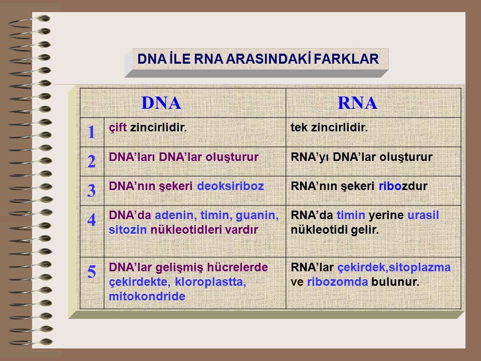DNA RNA 1 2 3 4 5 DNA İLE RNA ARASINDAKİ FARKLAR çift zincirlidir.
