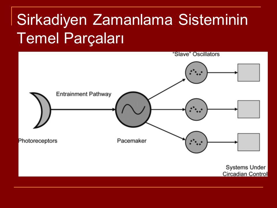Sirkadiyen Zamanlama Sisteminin Temel Parçaları