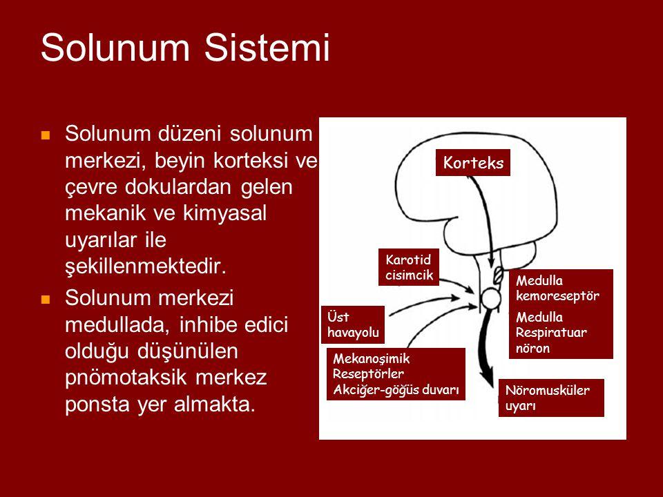 Solunum Sistemi Solunum düzeni solunum merkezi, beyin korteksi ve çevre dokulardan gelen mekanik ve kimyasal uyarılar ile şekillenmektedir.