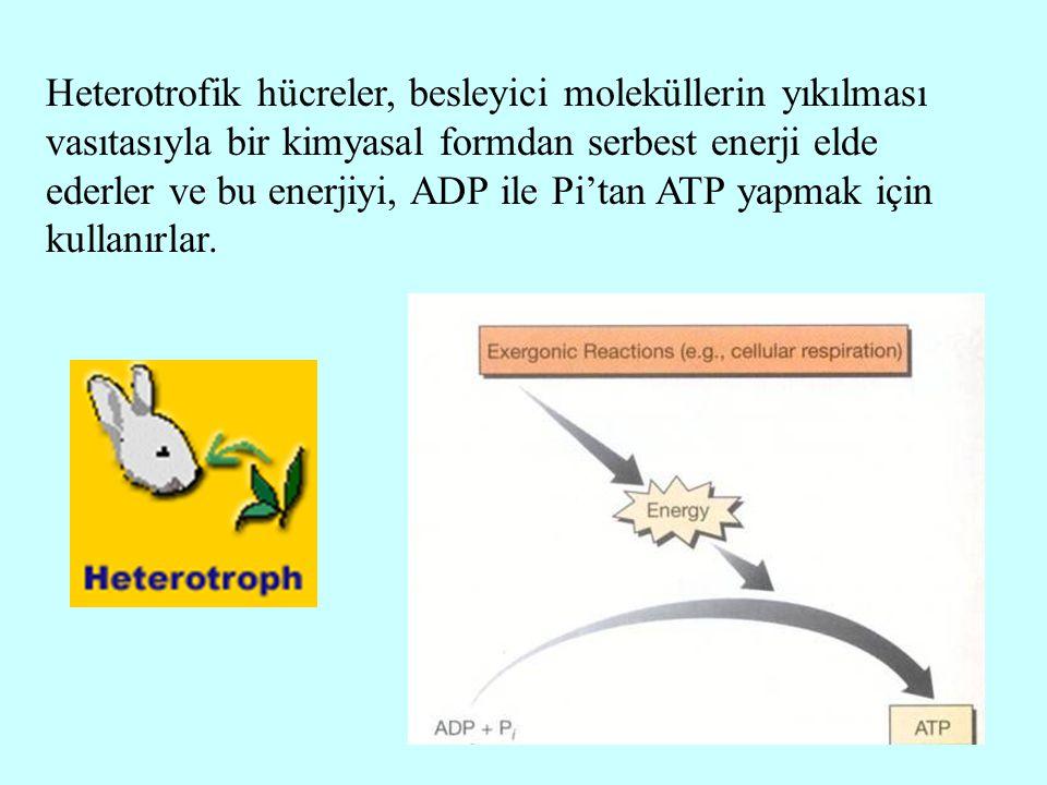 Heterotrofik hücreler, besleyici moleküllerin yıkılması vasıtasıyla bir kimyasal formdan serbest enerji elde ederler ve bu enerjiyi, ADP ile Pi'tan ATP yapmak için kullanırlar.