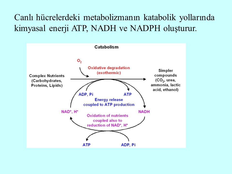 Canlı hücrelerdeki metabolizmanın katabolik yollarında kimyasal enerji ATP, NADH ve NADPH oluşturur.