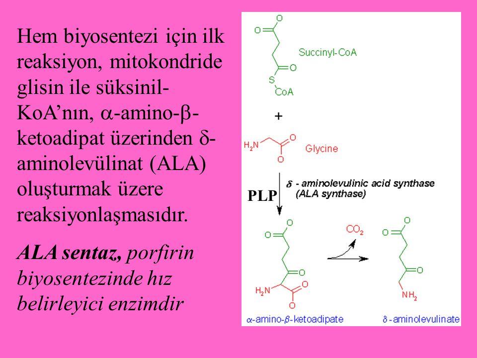 ALA sentaz, porfirin biyosentezinde hız belirleyici enzimdir