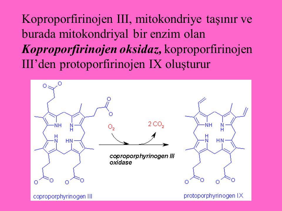 Koproporfirinojen III, mitokondriye taşınır ve burada mitokondriyal bir enzim olan Koproporfirinojen oksidaz, koproporfirinojen III'den protoporfirinojen IX oluşturur