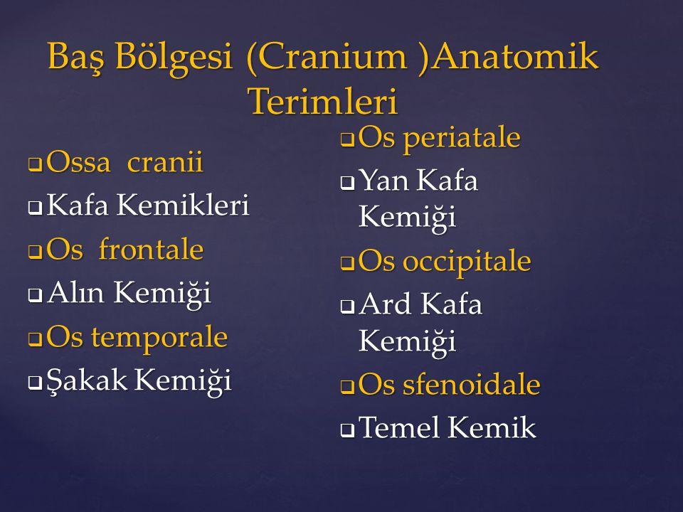 Baş Bölgesi (Cranium )Anatomik Terimleri