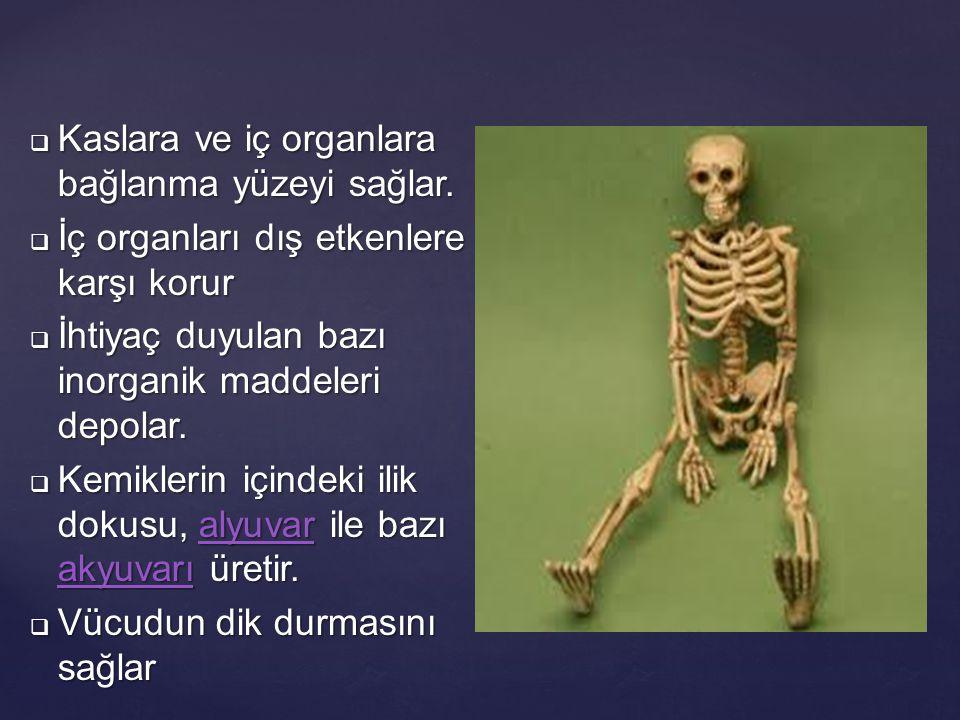 Kaslara ve iç organlara bağlanma yüzeyi sağlar.
