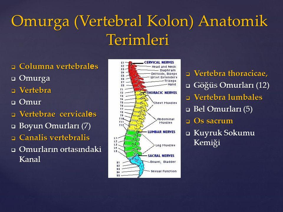 Omurga (Vertebral Kolon) Anatomik Terimleri
