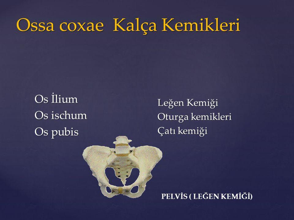 Ossa coxae Kalça Kemikleri