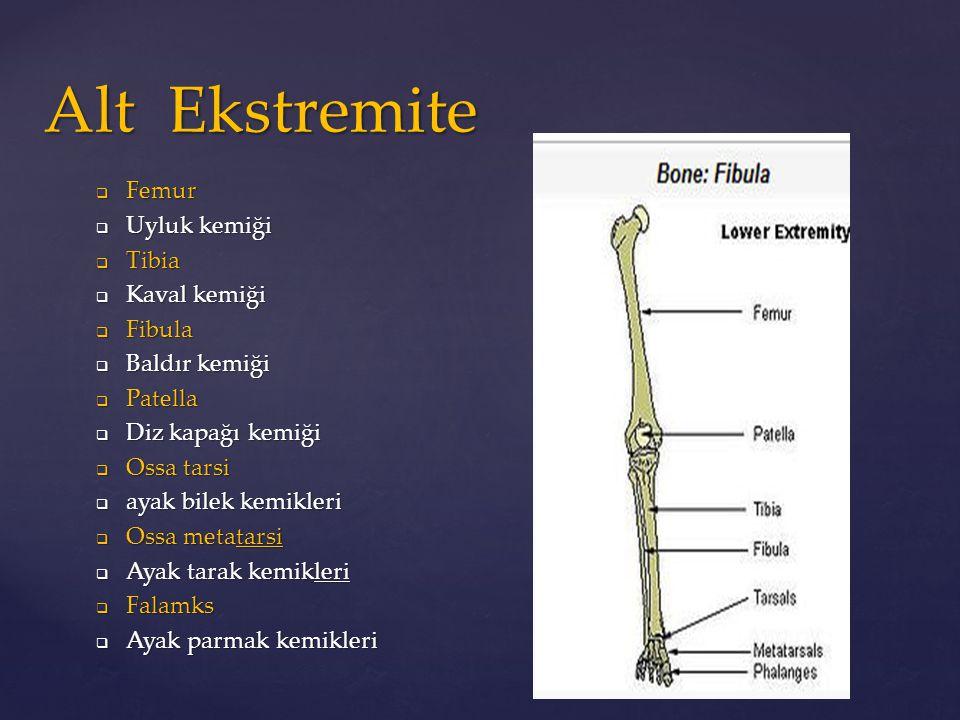 Alt Ekstremite Femur Uyluk kemiği Tibia Kaval kemiği Fibula