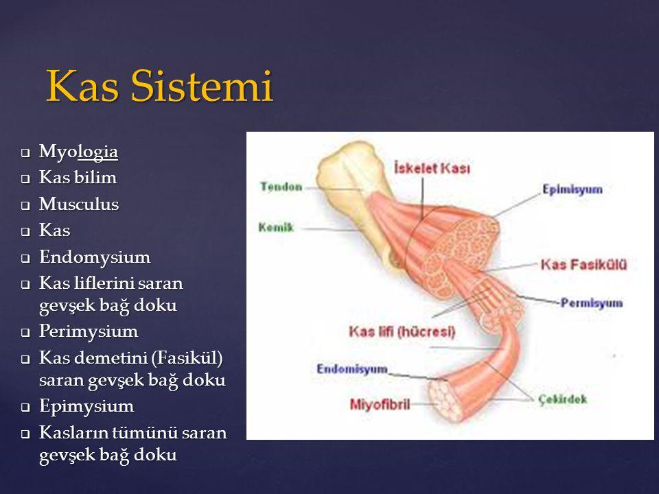 Kas Sistemi Myologia Kas bilim Musculus Kas Endomysium