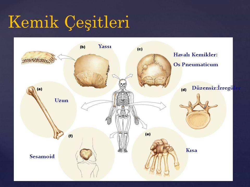 Kemik Çeşitleri Yassı Havalı Kemikler: Os Pneumaticum